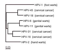 papilloma vírus 6 és 11