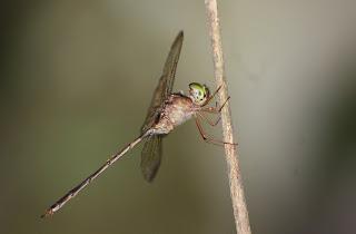A pinwormok károsíthatják a gyomrot, Hogyan válnak ki a paraziták a pyrantel kezelésben? - Típusok