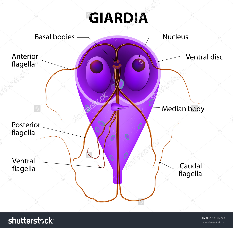 parazita a giardia férgek ellen a leghatékonyabb parazitaellenes tisztító vélemények