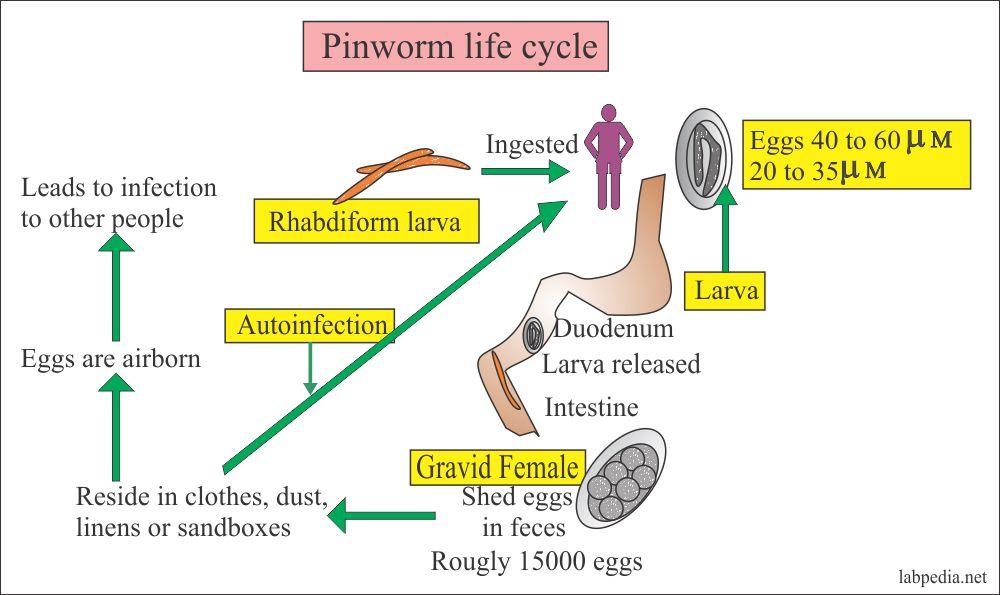 enterobius vermicularis vagy pinworms enterobiosis gyermekeknél és a kezelés megelőzése