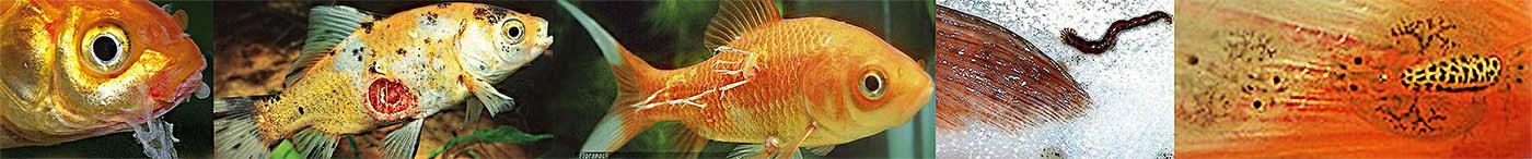 milyen halakban egyáltalán nincsenek paraziták