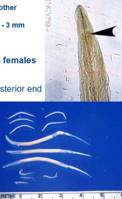 petesejt oxyuris equi nemi szemölcsök kezelik