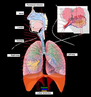 Tüdő – Wikipédia
