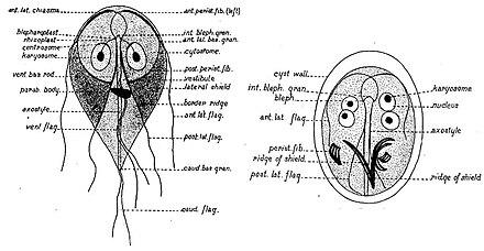 enteritis giardia pikkelyes papilloma kezelés