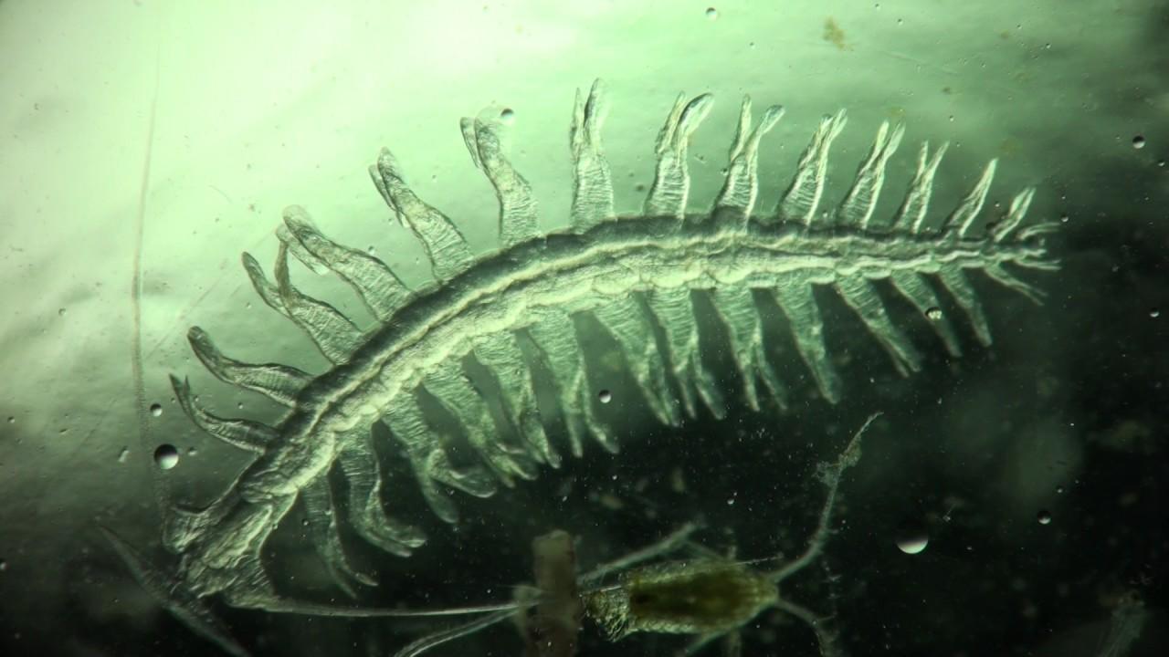 hasonlóság platyhelminthes fonálféreg annelida