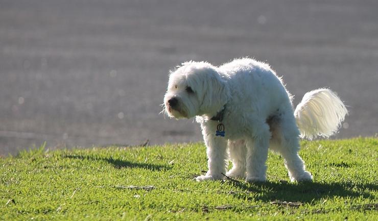 giardia hond op mens