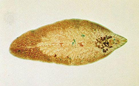 Phylum platyhelminthes fasciola