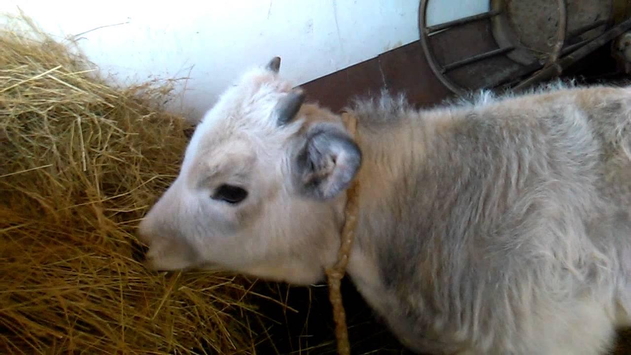 szarvasmarha-papillomatosis elleni kezelés