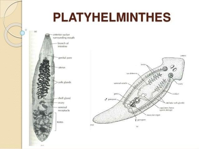 platyhelminthes phylum ppt mit kell enni, ha férgei vannak