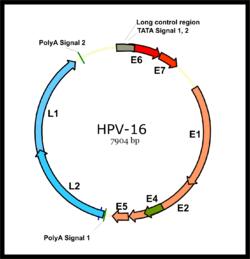 papillomavírus életciklusa peroxid papillómák