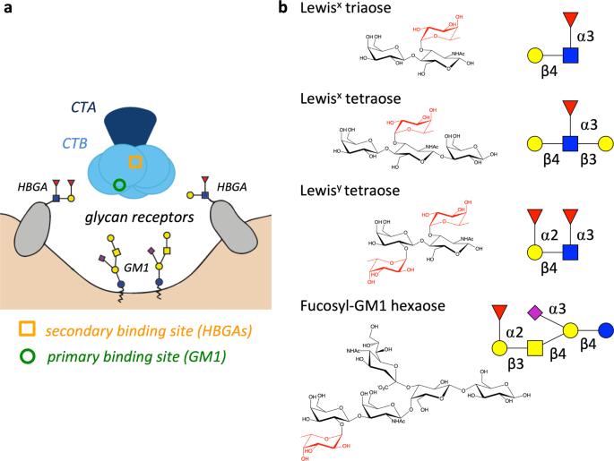 Jegyzetek medikusoknak/Mikrobiológia/Részletes bakteriológia/G- nem enteralis pálcák/Vibrio genus