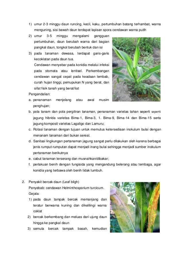 cendawan helminthosporium turcicum