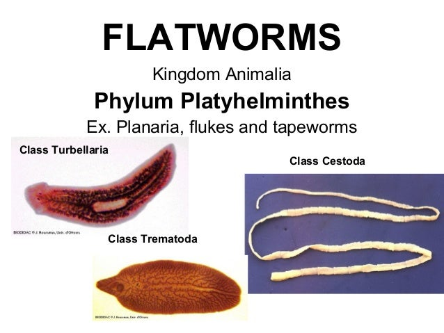 platyhelminthes phylum ppt képek a pinwormokon