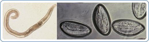 Enterobius vermicularis (Gombféreg)   Körinfo