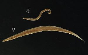 Pinworm kezelés felnőtt tablettákban, Helminthic kezelés uk