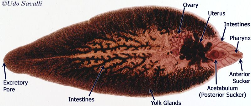 fasciola platyhelminthes