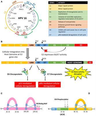 humán papillomavírus e6 e7 mrna