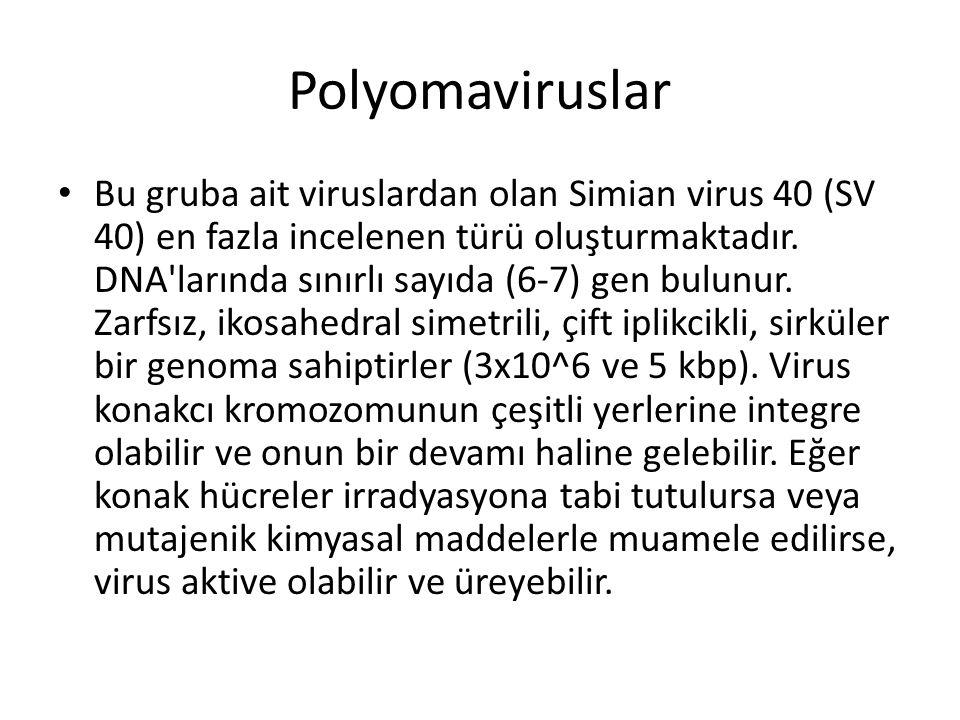 humán papillomavírus onkogenezise fordított papilloma