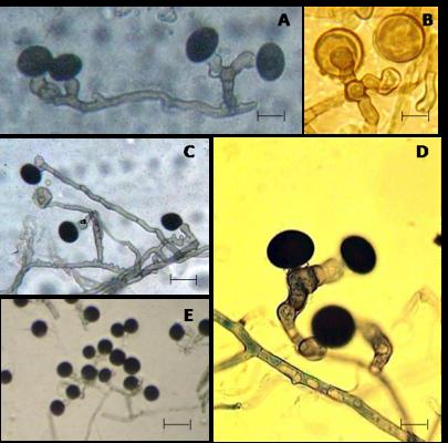 morfológus helminthosporium oryzae