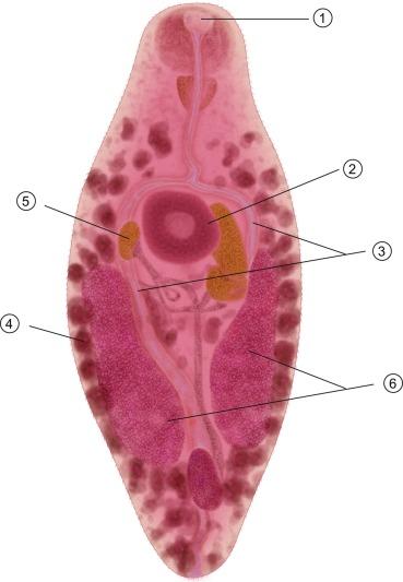 n. helminthoeca