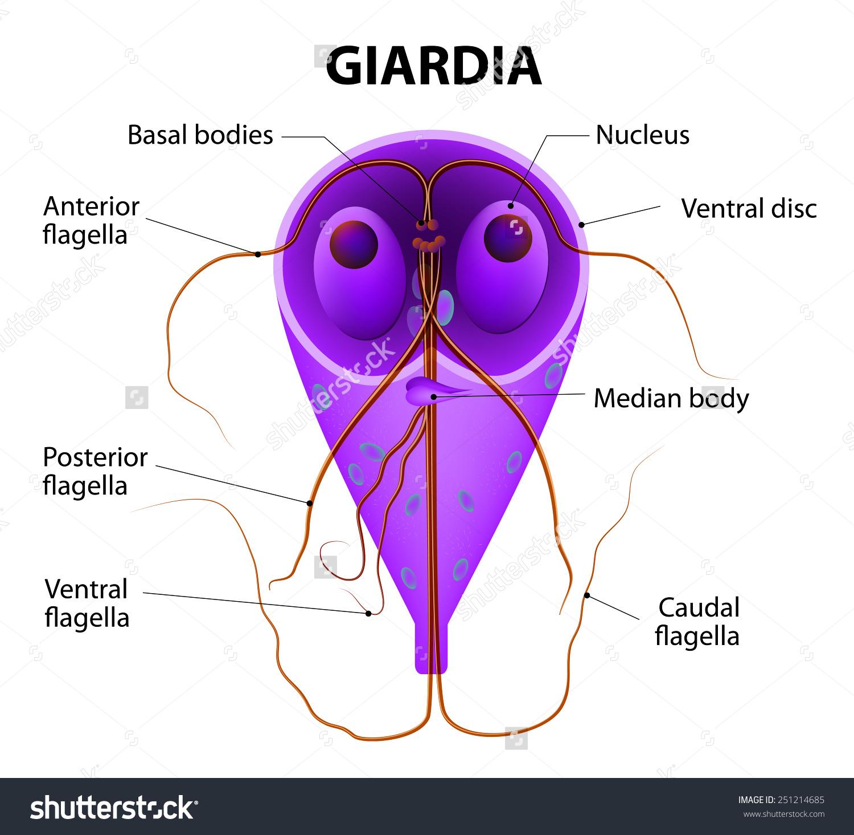 parazita a giardia férgek ellen méregtelenítő kiegészítő nehézfémekhez