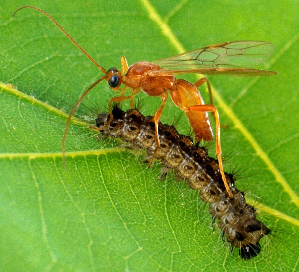 parazitoidok és paraziták