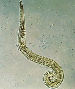 féregfajok paraziták