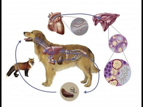 Pinworms macskák tünetei és kezelése