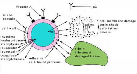 Hogyan fegyverzi le a Staphylococcus toxinja az immunrendszert?