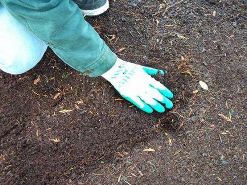 Gyöngyös szemölcsliliom (Haworthia margaritifera)