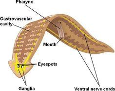Platyhelminthes cestoda tulajdonságai