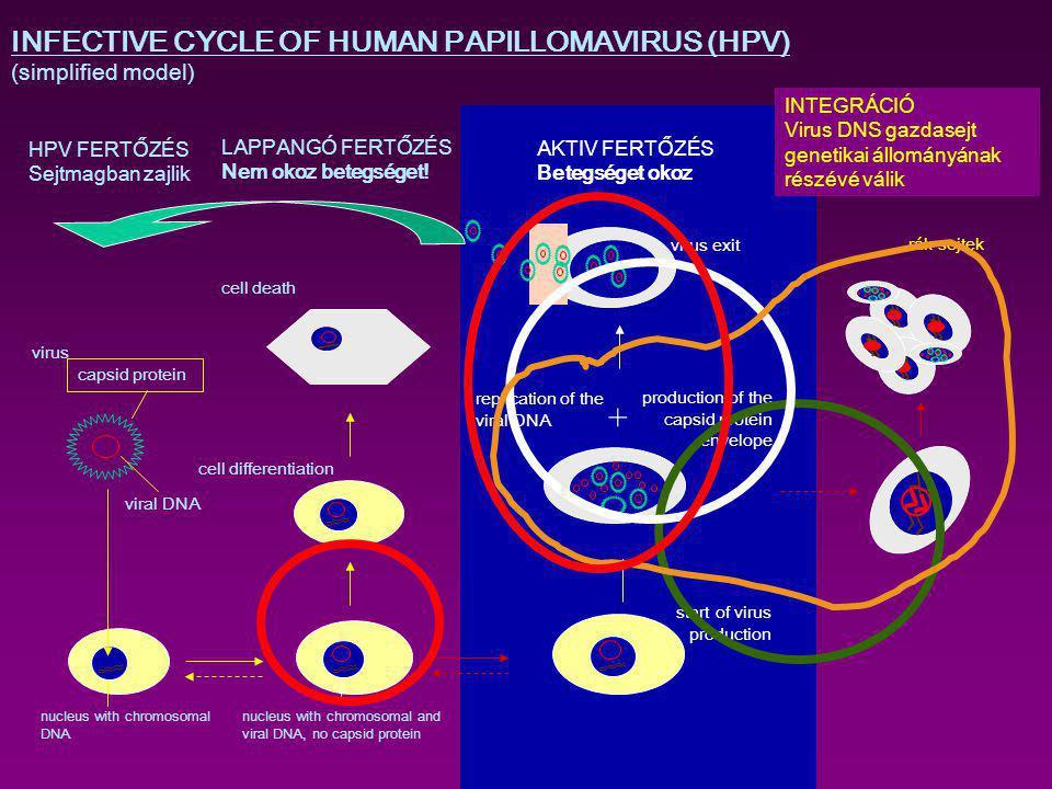 hpv vírus genetikai