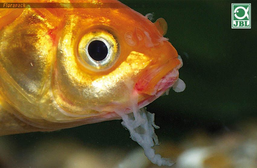 Halbetegségek, halparaziták képekkel