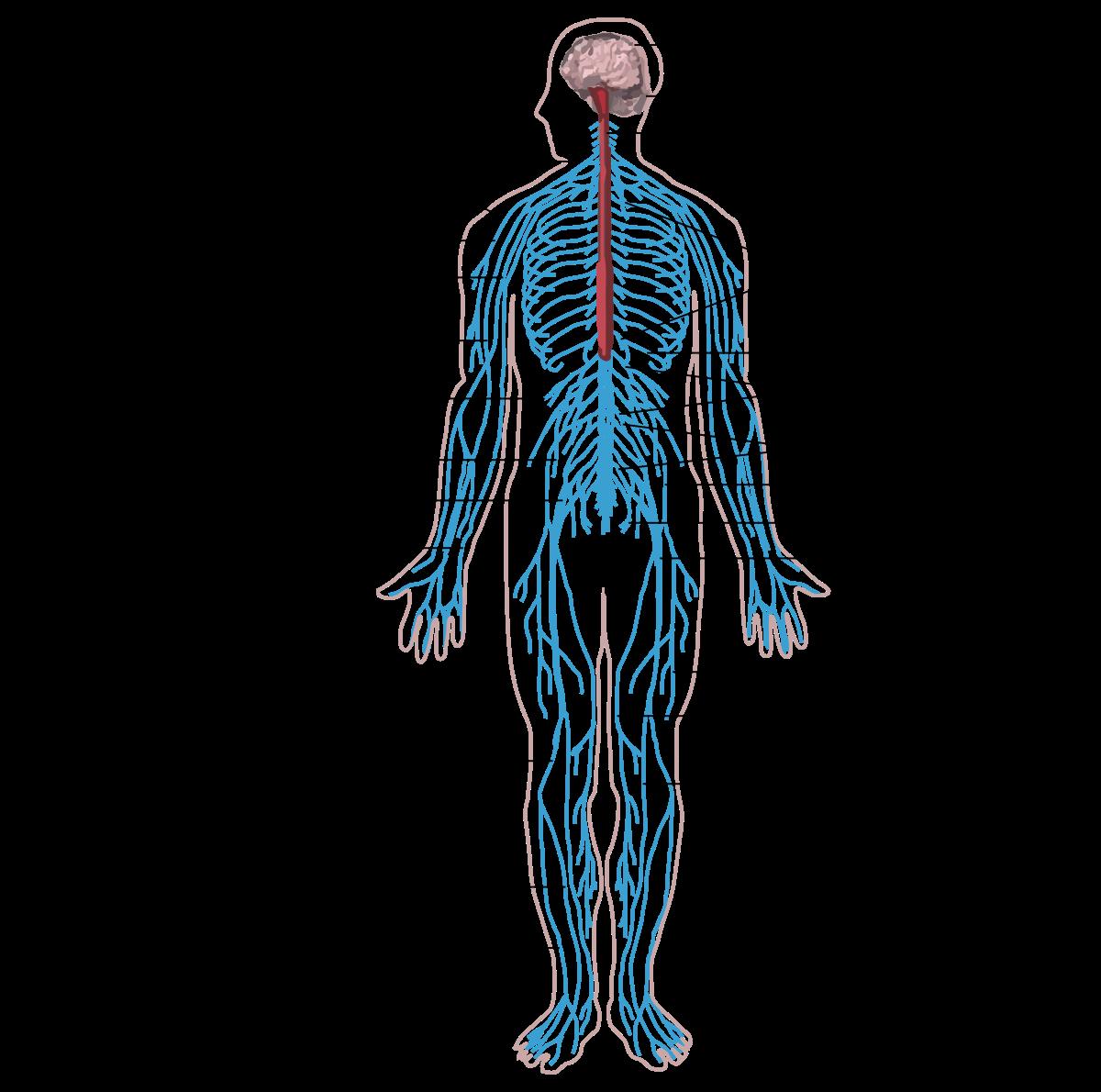 a szervezetben élő helminták tünetei felnőtteknél