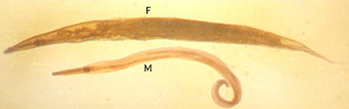 condyloma kenőcsök pinworms gyermekek képein