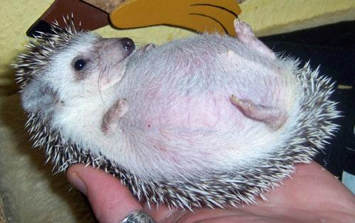 Férgek afrikai sündisznók kezelésében. Hogyan lehet egy cica megelőzni a férgeket?